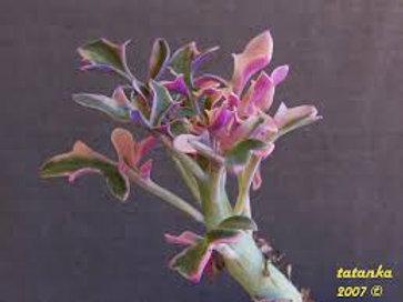 Senecio articulatus 'Variegatus'