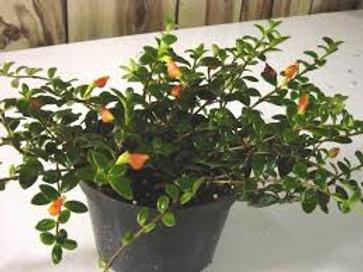Nematanthus gold fish plant