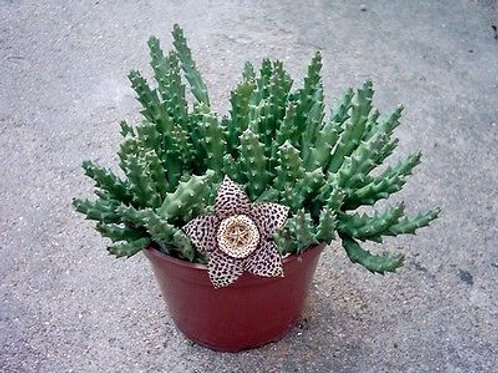 Stapela variegata