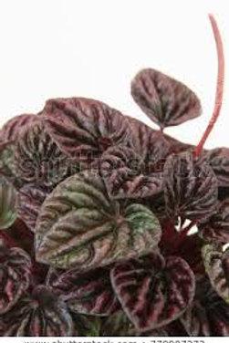 Peperomia caperata 'Schumi Red'