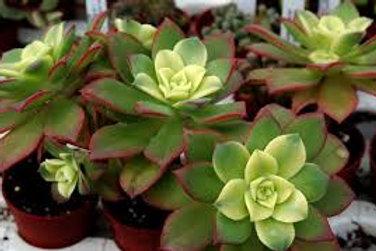 Aeonium 'Tricolor'