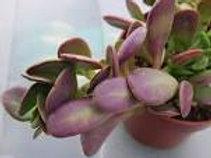 Senecio Jacobsenii Weeping Jade Succulents