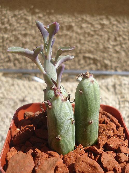 senecio  candle plant