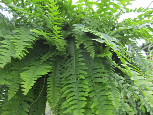 Nephrolepis exaltata boston fern