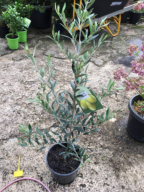 Olive – Garden Harvest
