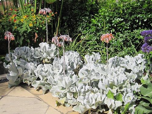 Cotyledon orbiculata 'Silver Waves'