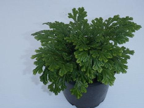 Selaginella martensii    club moss