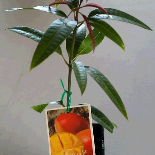 Bowen mango (kensington pride)