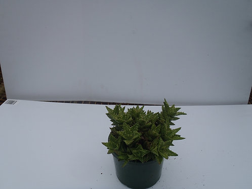 Aloe juvena