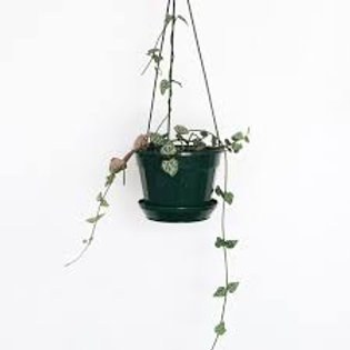 Ceropegia Woodii (Chain of hearts, Rosary vine, String of hearts)