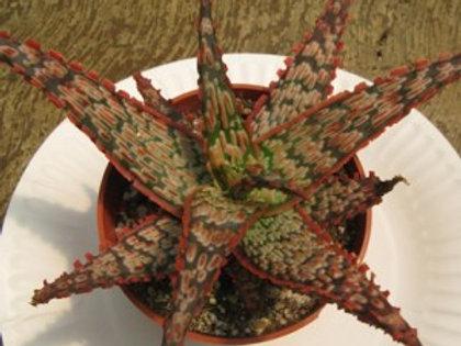 Aloe Piranha
