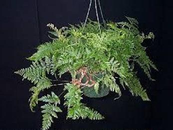 Davalia  hairsfoot fern