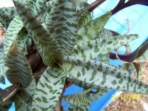 Ledebouria scilla