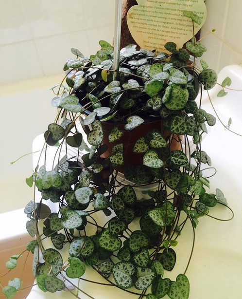 Ceropegia Woodii Chain Of Hearts Rosary Vine String Of
