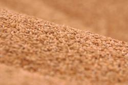 Close up wheat