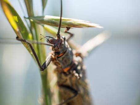 Salmonflies: A Madison Keystone