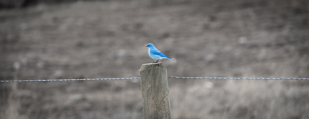 Bluebird in the Madison Valley