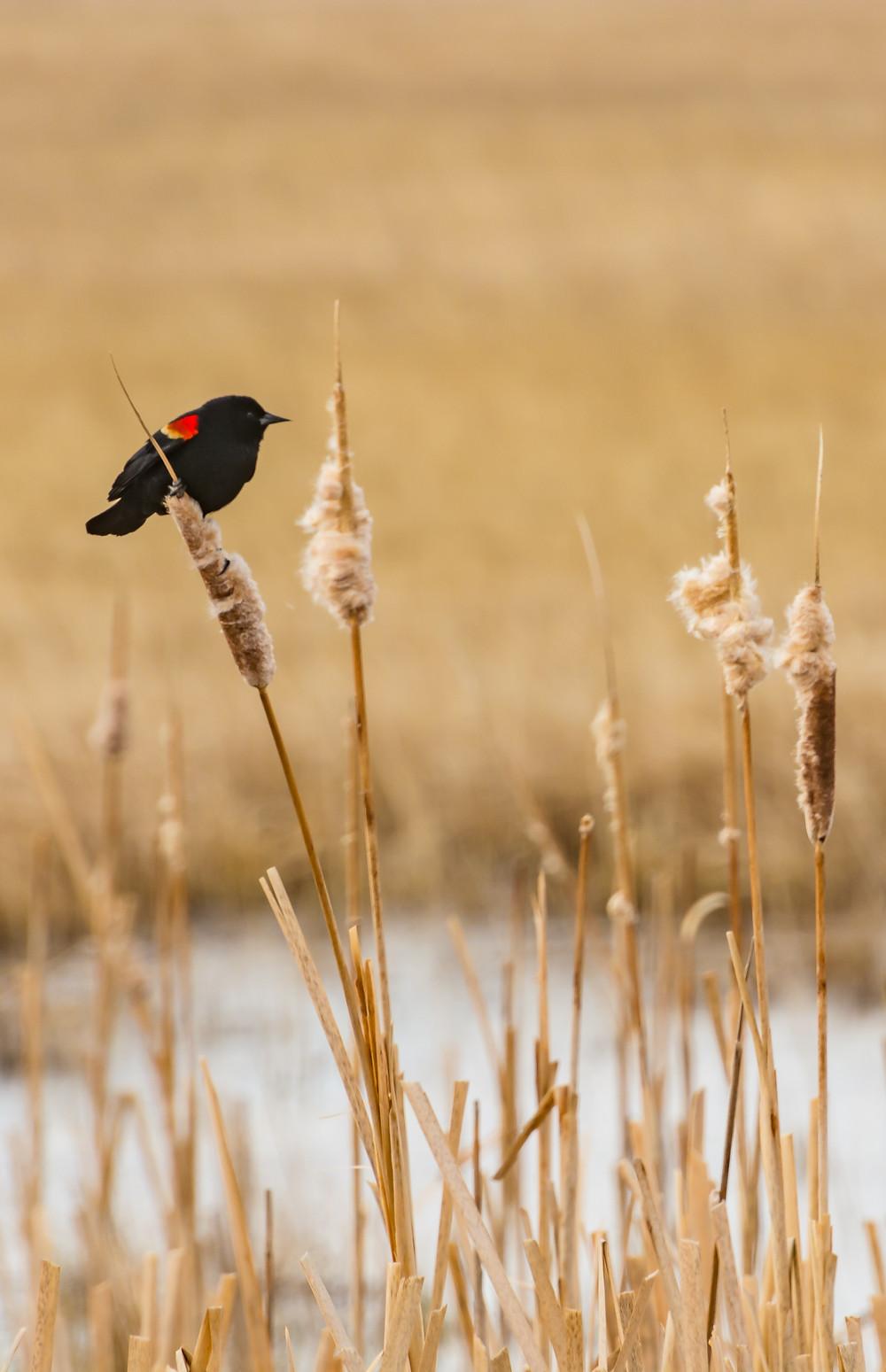 Redwing Blackbird on cattail in Madison Valley