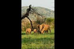 South African Elephants 2