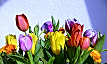 Rainbow Tulips.png