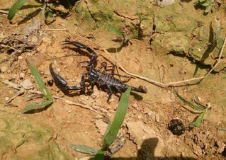 black scorpian-landak-river.JPG