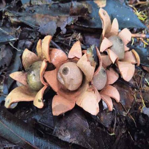 earthstar-fungus.jpg