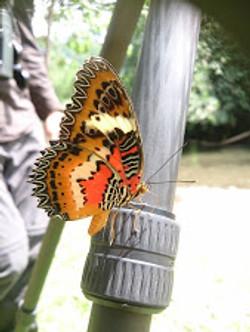 Leopard Lacewang butterfly