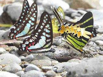 butterflies-landak river.jpg