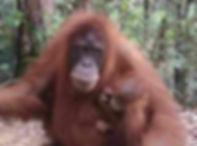 orangutan-sepi-bukit-lawang.jpg