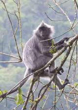 Silver-leaf-monkey.JPG