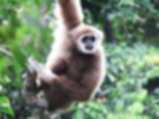 White-handed Gibbon.jpg