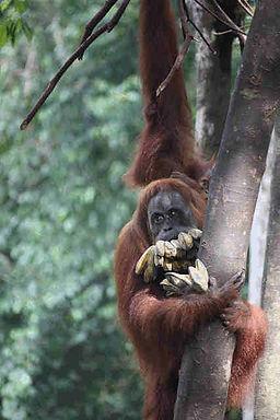 ex-captive-orangutan-bananas-feeding-platform.jpg