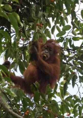 Wild junvenile orangutan-batu-kelinci.JP