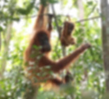 Sumatran-Orangutan-baby-gunung-leuser-np.
