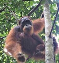 male wild oranutan-6-day-trek.jpg