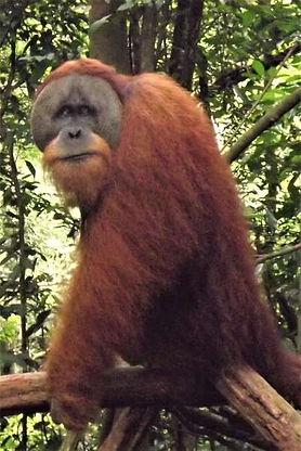flanged-male-sumatran-orangutan-glnp.JPG