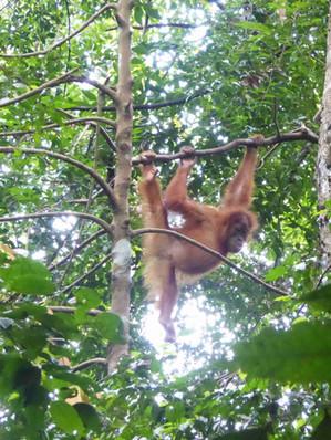Juvenile-orangutan-bukit-lawang.JPG