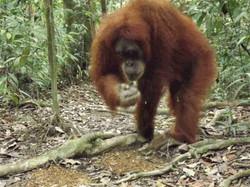 Orangutan Jacky