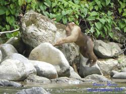 pig-tailed-macaque-bahorok-river
