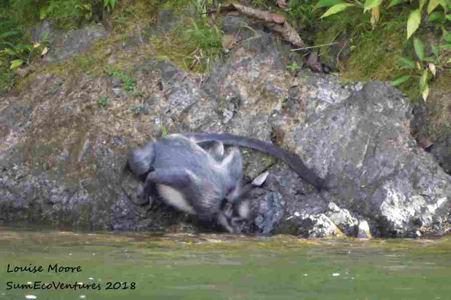 thomas-leaf-monkey-