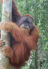 orangutan-flanged-male.jpg