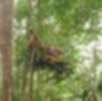 male-orangutan-nest.jpg