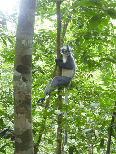 Thomas-leaf-monkey-bukit-lawang.JPG
