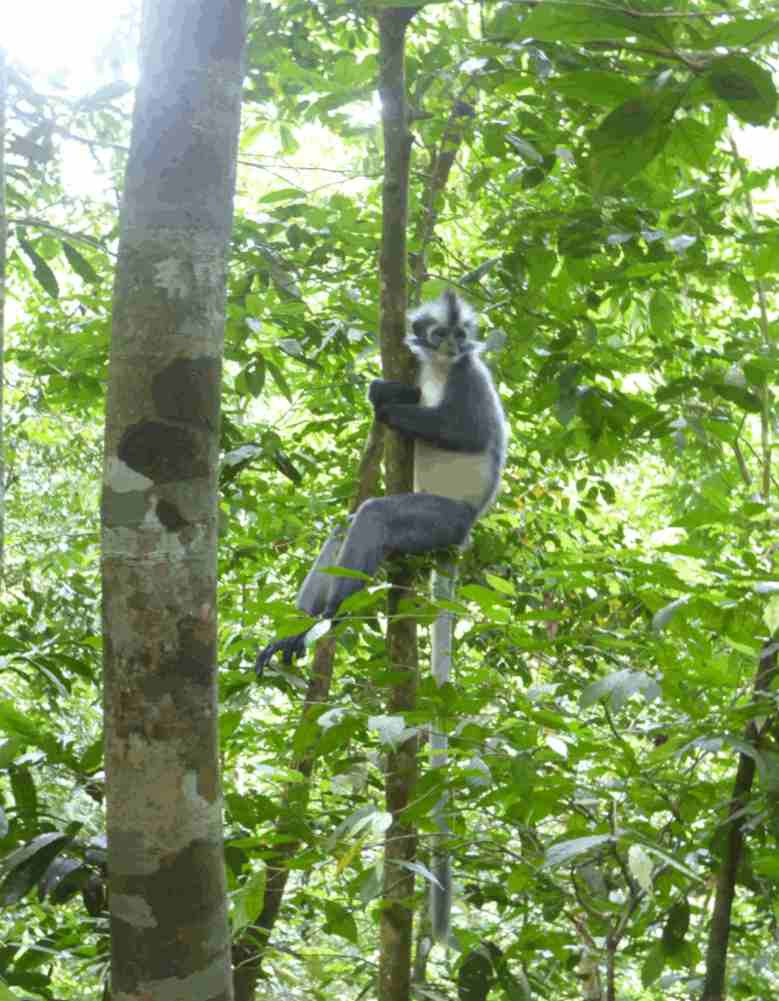 Thomas-leaf-monkey-bukit-lawang.JPG
