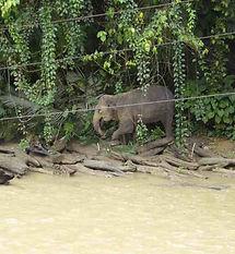 Sumatra-elephant-tangkahan.JPG