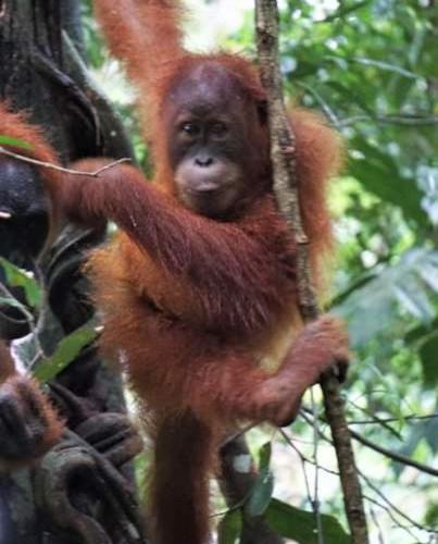 baby-orangutan-glnp-bukit-lawang.jpg