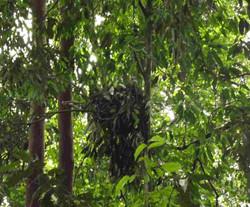 orangutan-nest