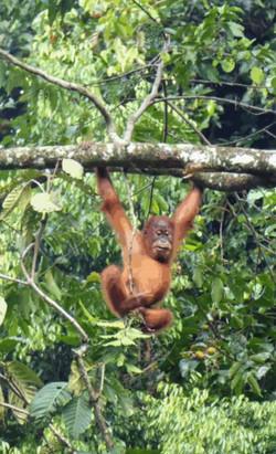 Borjong-junvenile-orangutan