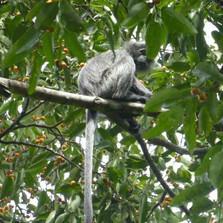 Silver-leaf-monkeys-feeding.JPG