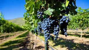 El vino en Baja California
